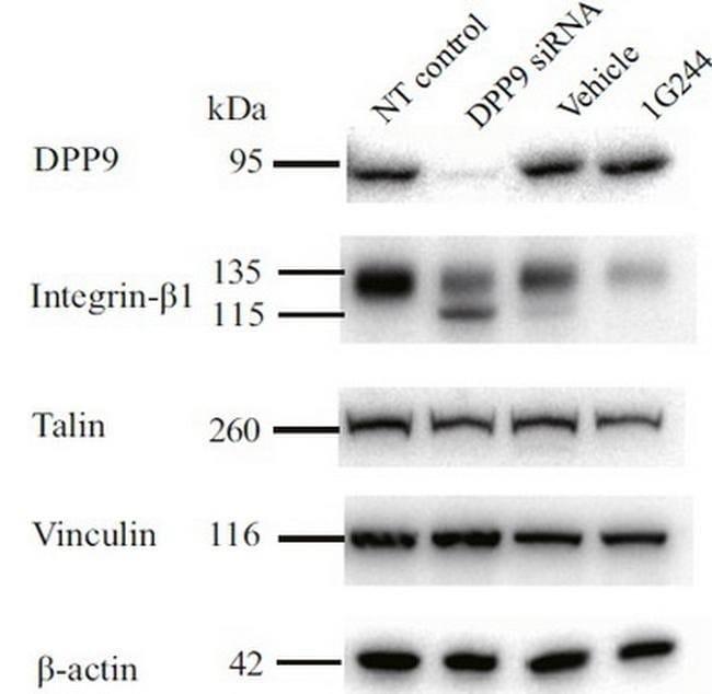 DPP9 Mouse anti-Human, Clone: OTI2F10, liquid, TrueMAB  100 µL; Unconjugated