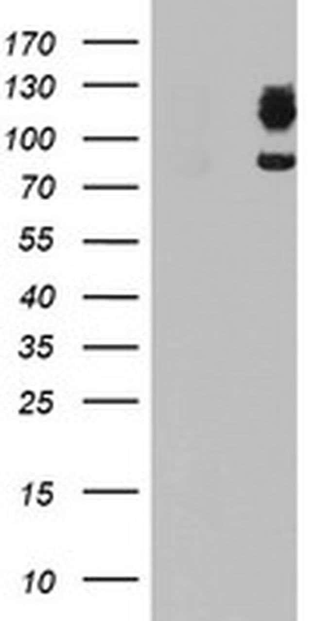 DPP9 Mouse anti-Human, Clone: OTI2D4, liquid, TrueMAB  100 µL; Unconjugated