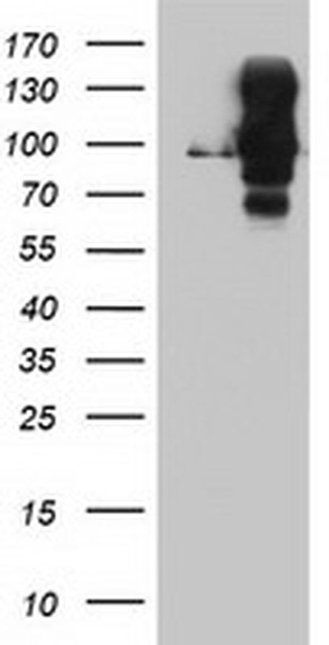 DPP9 Mouse anti-Human, Mouse, Clone: OTI2E3, liquid, TrueMAB  100 µL;