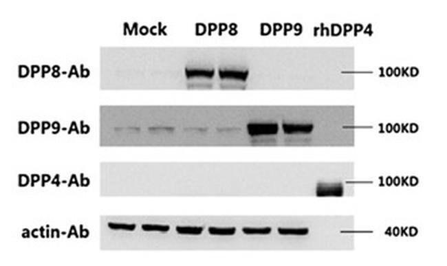 DPP9 Mouse anti-Human, Clone: OTI4D6, liquid, TrueMAB  100 µL; Unconjugated