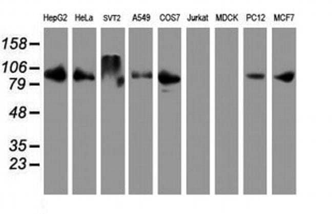 DPP9 Mouse anti-Human, Mouse, Rat, Clone: OTI4C10, liquid, TrueMAB  30