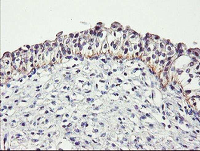 DTNB Mouse anti-Human, Clone: OTI3A12, liquid, TrueMAB  100 µL; Unconjugated