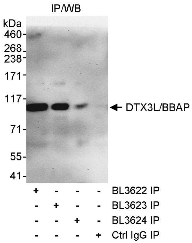 DTX3L/BBAP Rabbit anti-Human, Polyclonal, Bethyl Laboratories 100 μL;