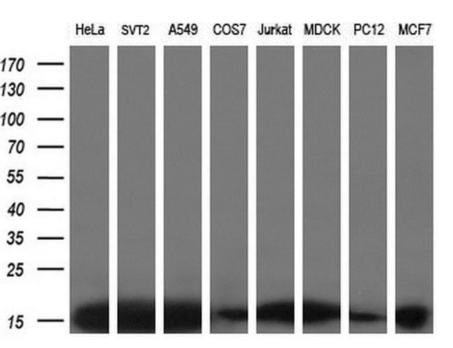 EIF1 Mouse anti-Human, Clone: OTI2B9, liquid, TrueMAB  100 µL; Unconjugated