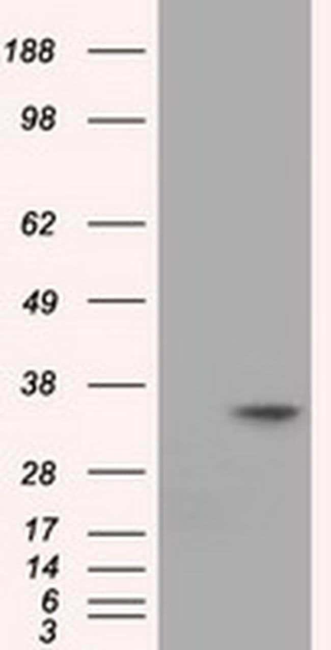 EIF2S1 Mouse anti-Canine, Human, Rat, Clone: OTI3H4, liquid, TrueMAB  100