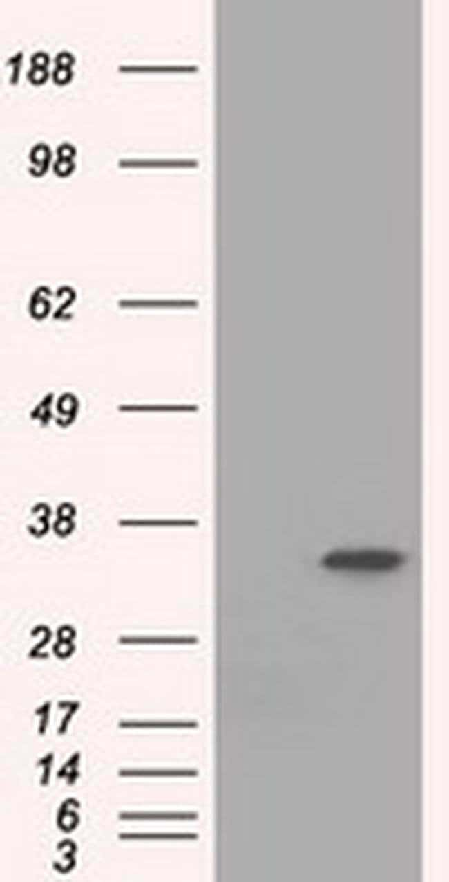 EIF2S1 Mouse anti-Canine, Human, Rat, Clone: OTI3H7, liquid, TrueMAB  100