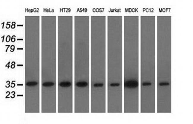 EIF2S1 Mouse anti-Canine, Human, Rat, Clone: OTI1B10, liquid, TrueMAB