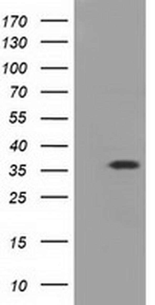 EIF2S1 Mouse anti-Human, Clone: OTI1H1, liquid, TrueMAB  100 µL; Unconjugated