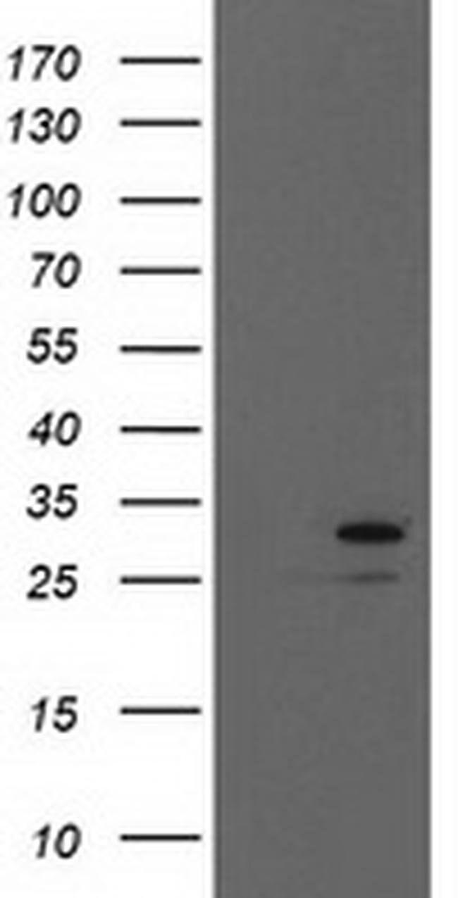 EIF4E Mouse anti-Human, Clone: OTI6C11, liquid, TrueMAB  100 µL; Unconjugated