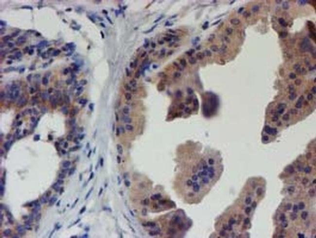 EIF4E2 Mouse anti-Human, Clone: OTI4E7, liquid, TrueMAB  100 µL; Unconjugated