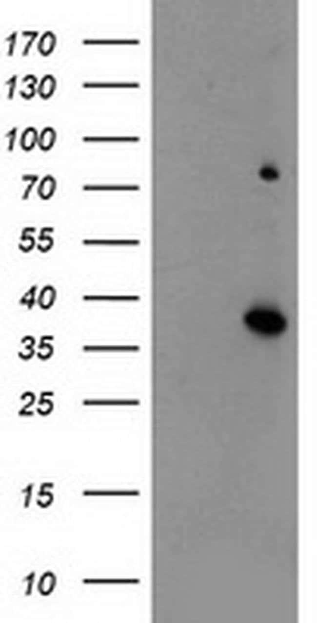 ELAVL1 Mouse anti-Human, Clone: OTI14F11, liquid, TrueMAB  100 µL;