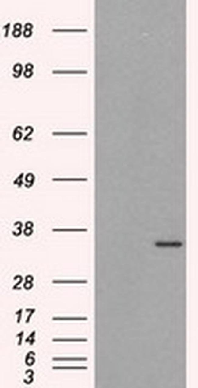 ELAVL1 Mouse anti-Human, Clone: OTI14F4, liquid, TrueMAB  100 µL;