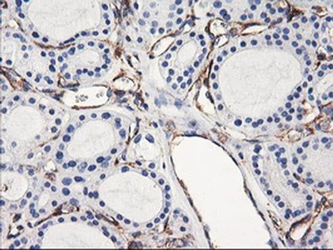 ENPEP Mouse anti-Human, Clone: OTI3E7, liquid, TrueMAB  100 µL; Unconjugated
