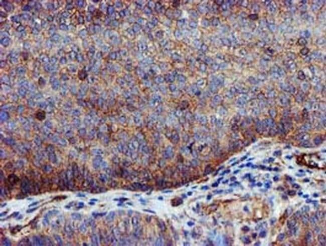 EPN2 Mouse anti-Human, Clone: OTI1C5, liquid, TrueMAB  100 µL; Unconjugated