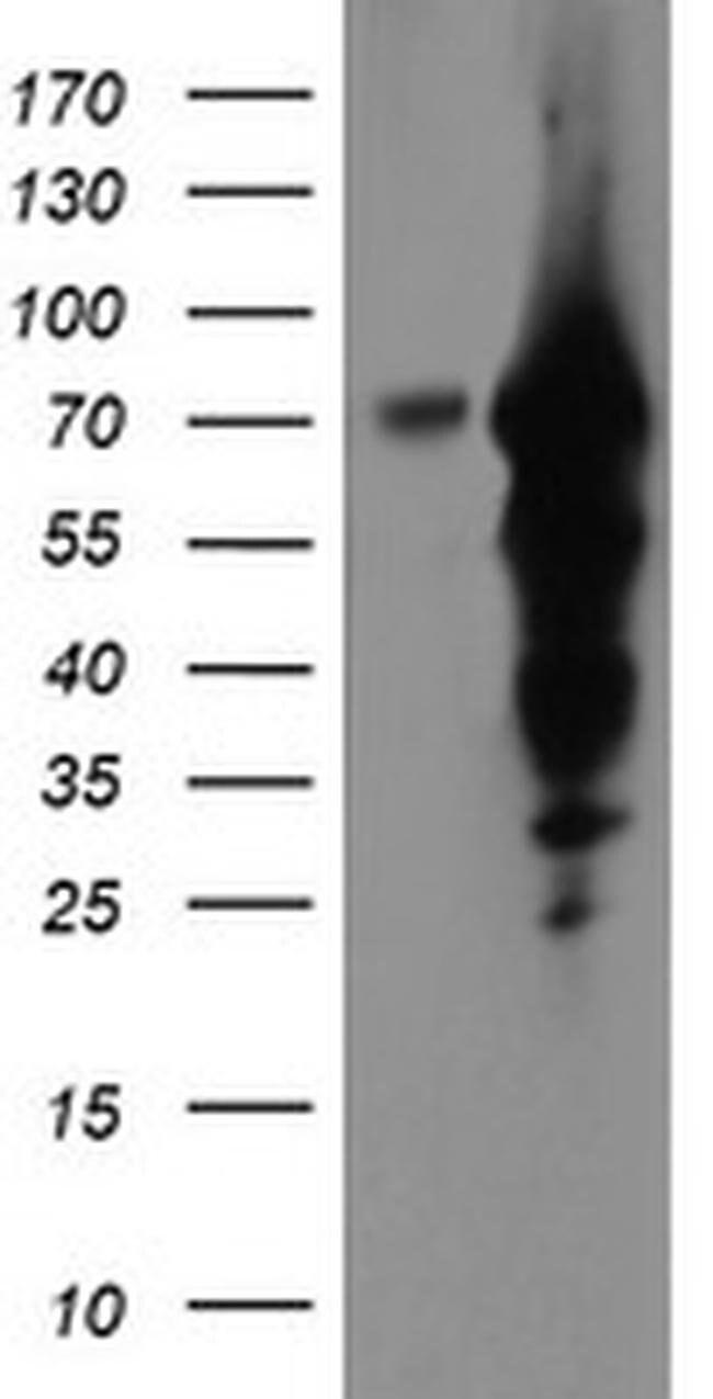 EPN2 Mouse anti-Human, Clone: OTI1F1, liquid, TrueMAB  100 µL; Unconjugated
