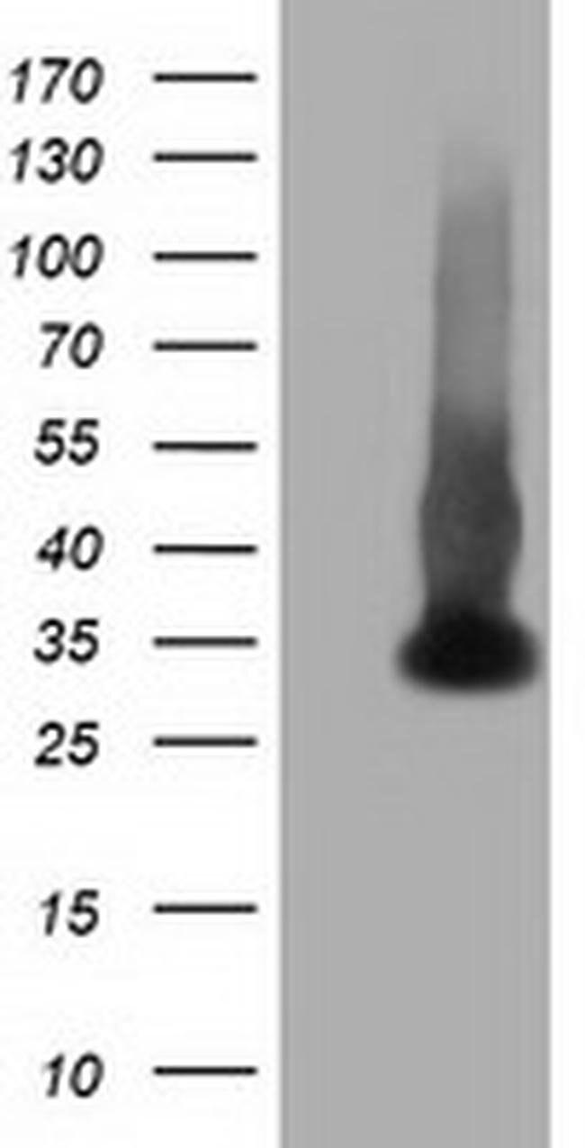 ERCC1 Mouse anti-Canine, Human, Clone: OTI2A9, liquid, TrueMAB  100 µL;