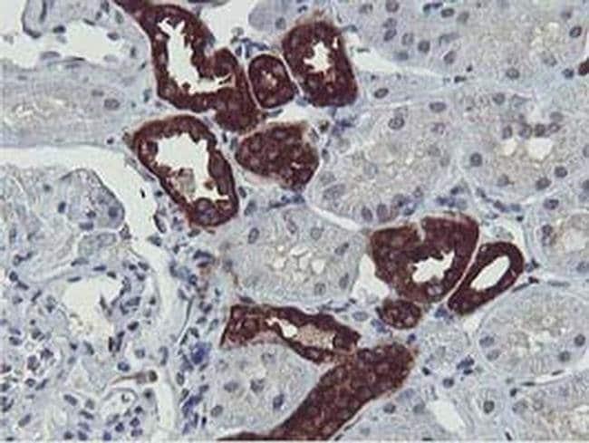 ERI1 Mouse anti-Human, Rat, Clone: OTI1B3, liquid, TrueMAB  100 µL;