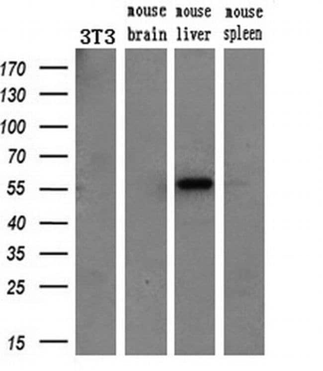 ETS2 Mouse anti-Human, Clone: OTI1H4, liquid, TrueMAB  30 µL; Unconjugated