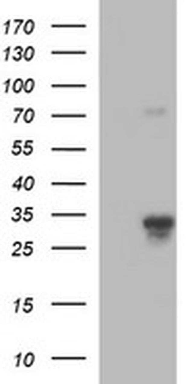 F11R Mouse anti-Human, Clone: OTI3H3, liquid, TrueMAB  100 µL; Unconjugated