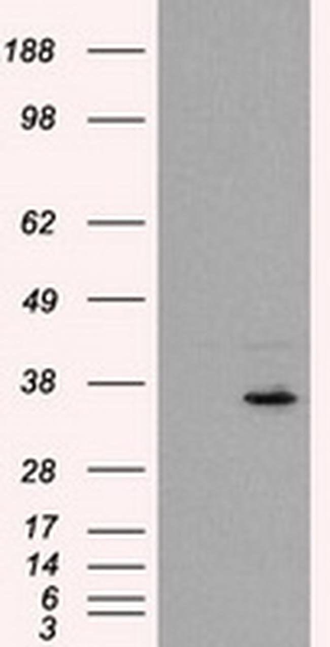 FAHD2A Mouse anti-Human, Clone: OTI5D4, liquid, TrueMAB  100 µL; Unconjugated