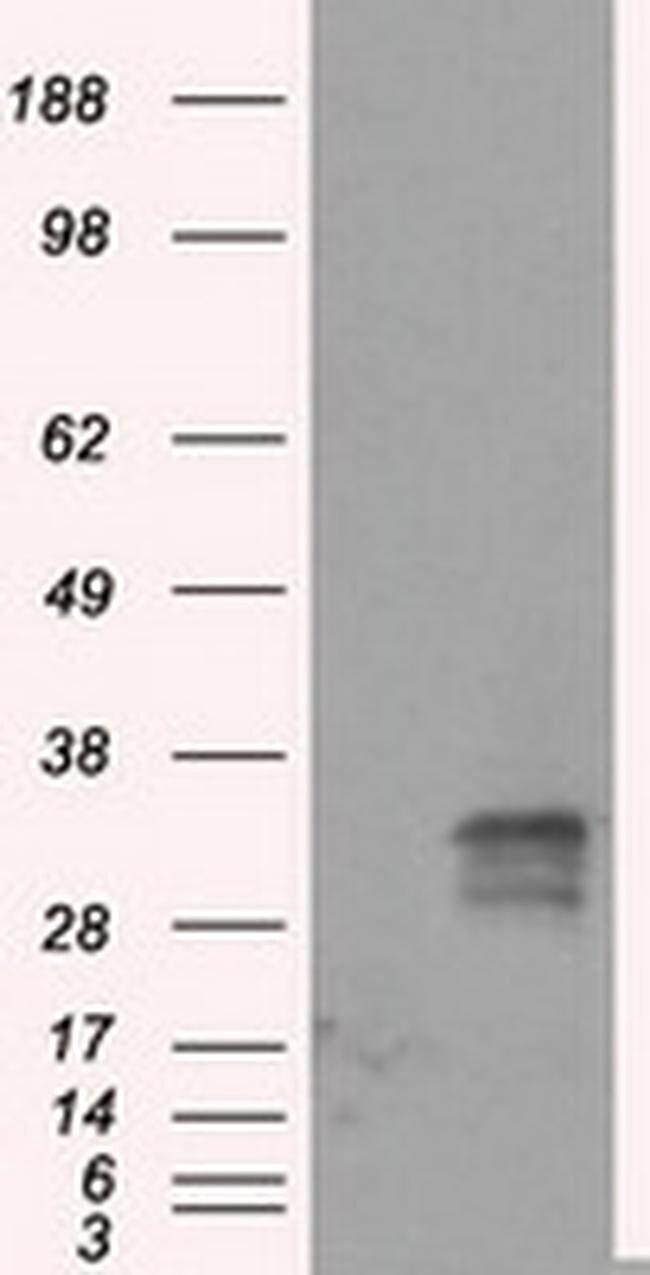 FAHD2A Mouse anti-Human, Clone: OTI5D5, liquid, TrueMAB  100 µL; Unconjugated