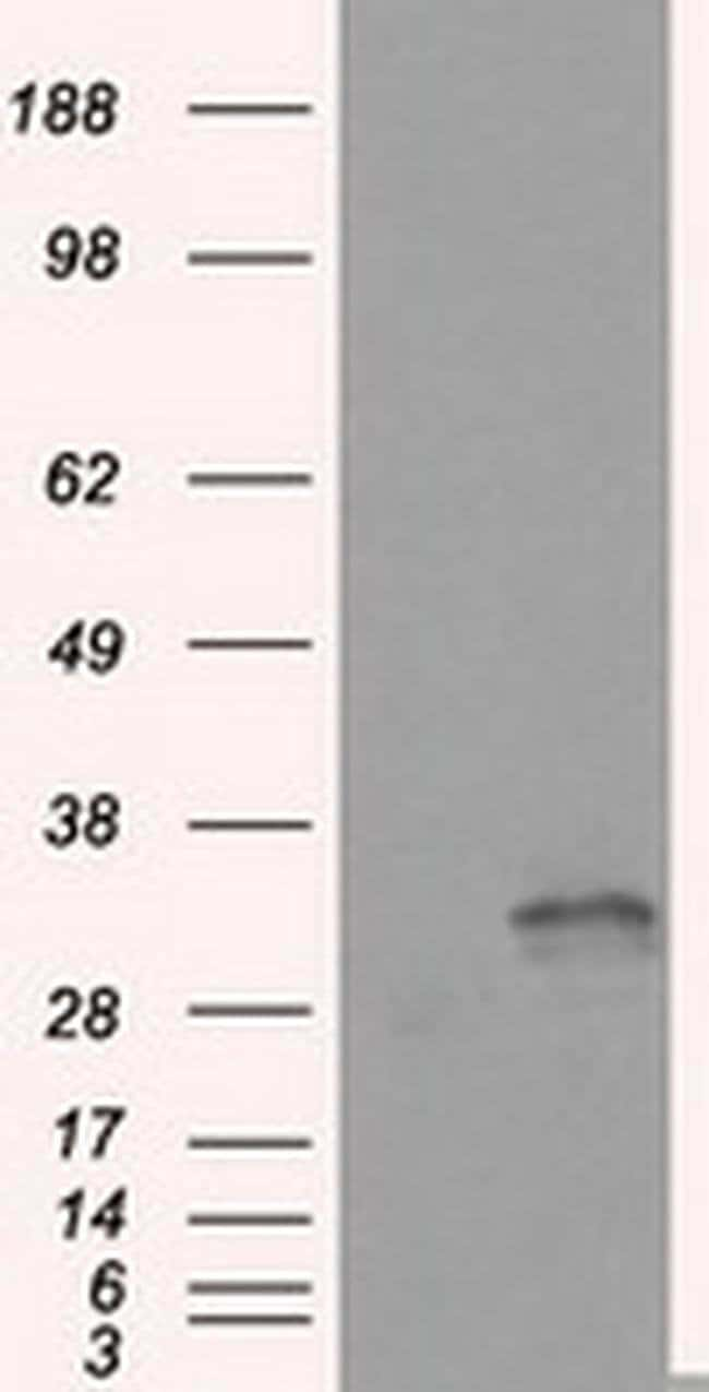 FAHD2A Mouse anti-Human, Clone: OTI9D4, liquid, TrueMAB  100 µL; Unconjugated