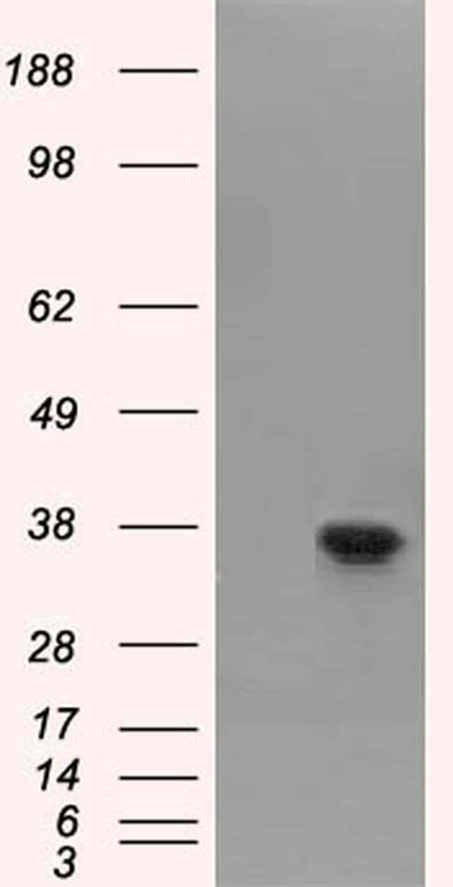 FAHD2A Mouse anti-Human, Clone: OTI9B5, liquid, TrueMAB  100 µL; Unconjugated