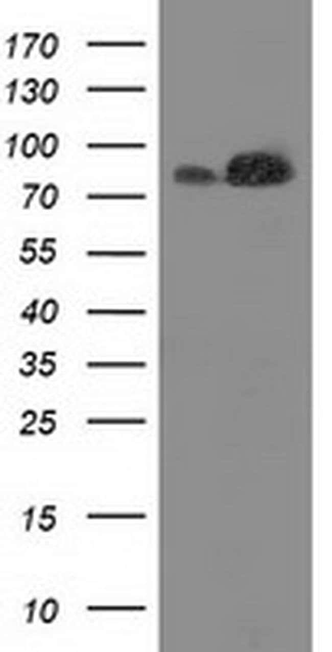 FAM40A Mouse anti-Canine, Human, Rat, Clone: OTI7B8, liquid, TrueMAB  100