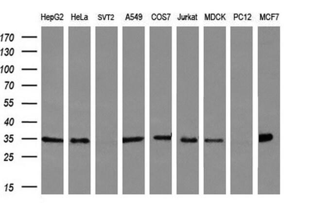 FAM84B Mouse anti-Human, Clone: OTI2E7, liquid, TrueMAB  100 µL; Unconjugated