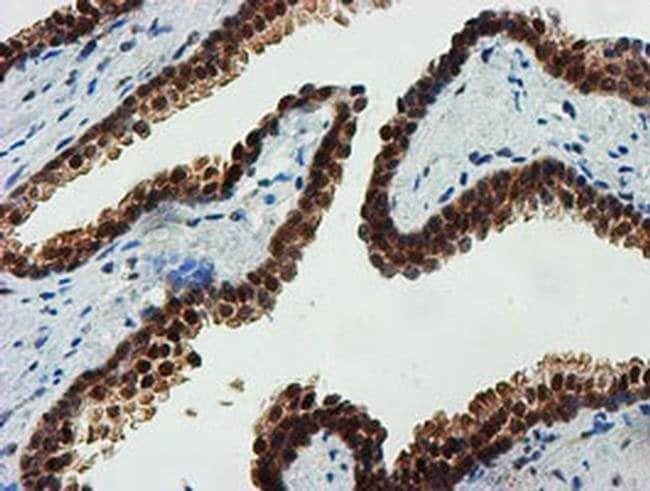 FBXO21 Mouse anti-Human, Mouse, Rat, Clone: OTI5H4, liquid, TrueMAB  100