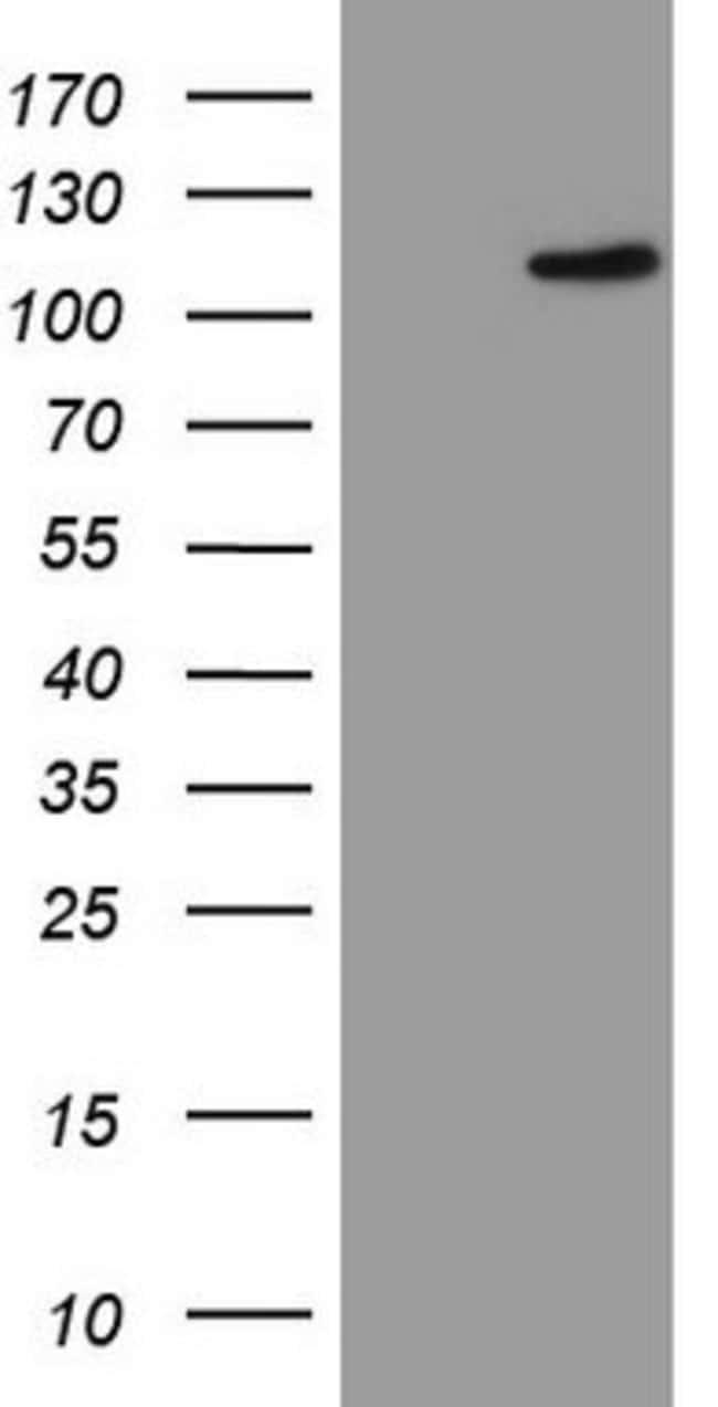 FBXW7 Mouse anti-Human, Clone: OTI4C11, lyophilized, TrueMAB  100 µg;