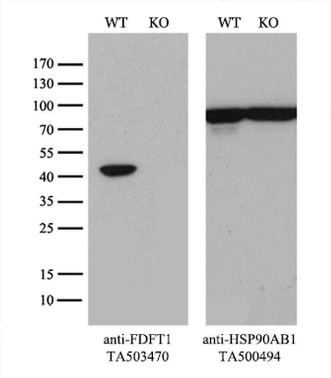 FDFT1 Mouse anti-Human, Clone: OTI2F10, liquid, TrueMAB  100 µL; Unconjugated