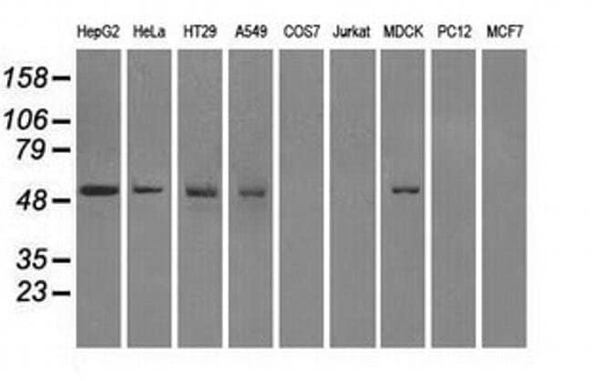 FH Mouse anti-Canine, Human, Clone: OTI2A2, liquid, TrueMAB  100 µL;