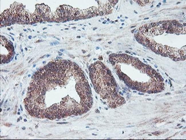 FMR1 Mouse anti-Canine, Human, Mouse, Rat, Clone: OTI1D10, liquid, TrueMAB