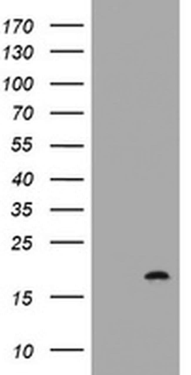 GADD45G Mouse anti-Human, Clone: OTI4D6, liquid, TrueMAB  100 µL;