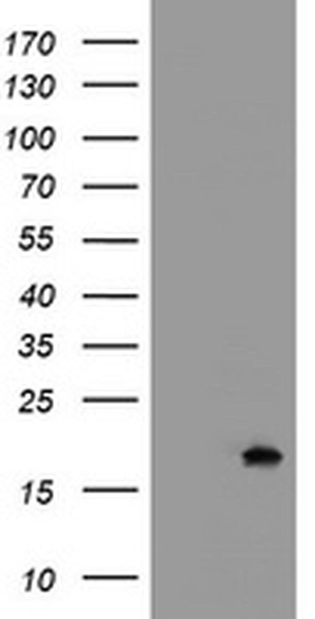 GADD45G Mouse anti-Human, Clone: OTI2D4, liquid, TrueMAB  100 µL;