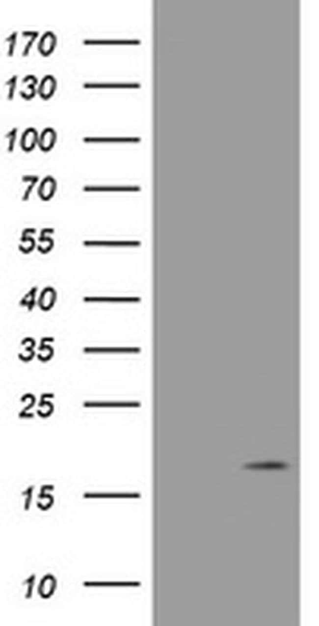 GADD45G Mouse anti-Human, Clone: OTI1B7, liquid, TrueMAB  100 µL;