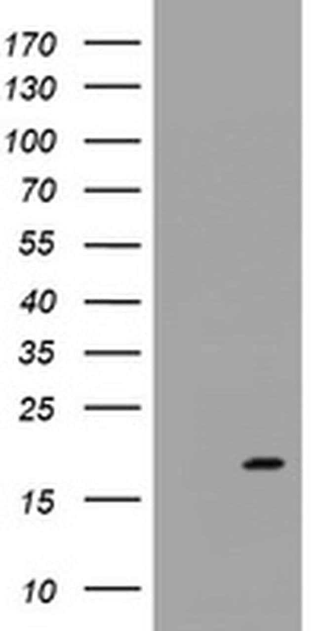 GADD45G Mouse anti-Human, Clone: OTI2D7, liquid, TrueMAB  100 µL;