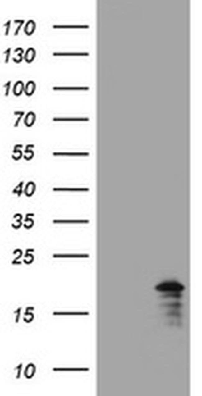 GADD45G Mouse anti-Human, Clone: OTI7G10, liquid, TrueMAB  100 µL;