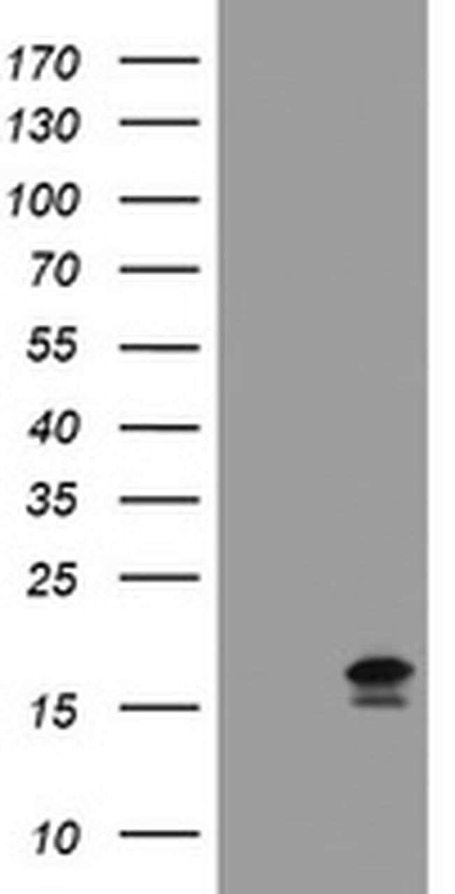 GADD45G Mouse anti-Human, Clone: OTI1H1, liquid, TrueMAB  100 µL;