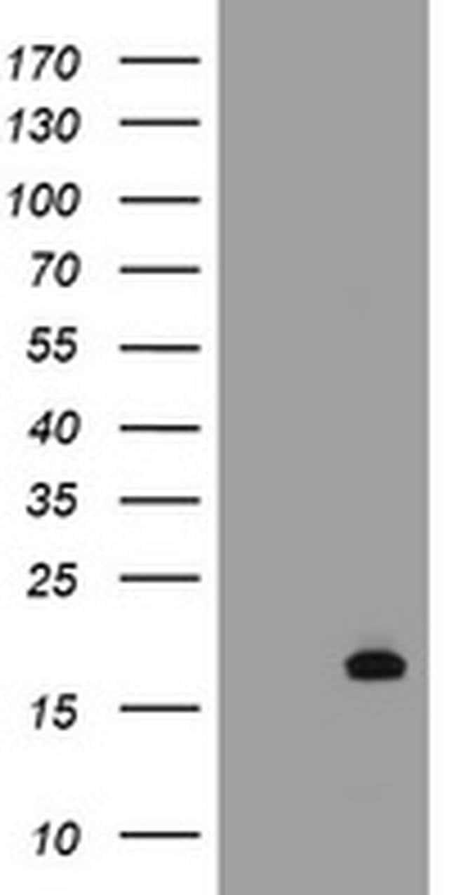 GADD45G Mouse anti-Human, Clone: OTI4E5, liquid, TrueMAB  100 µL;