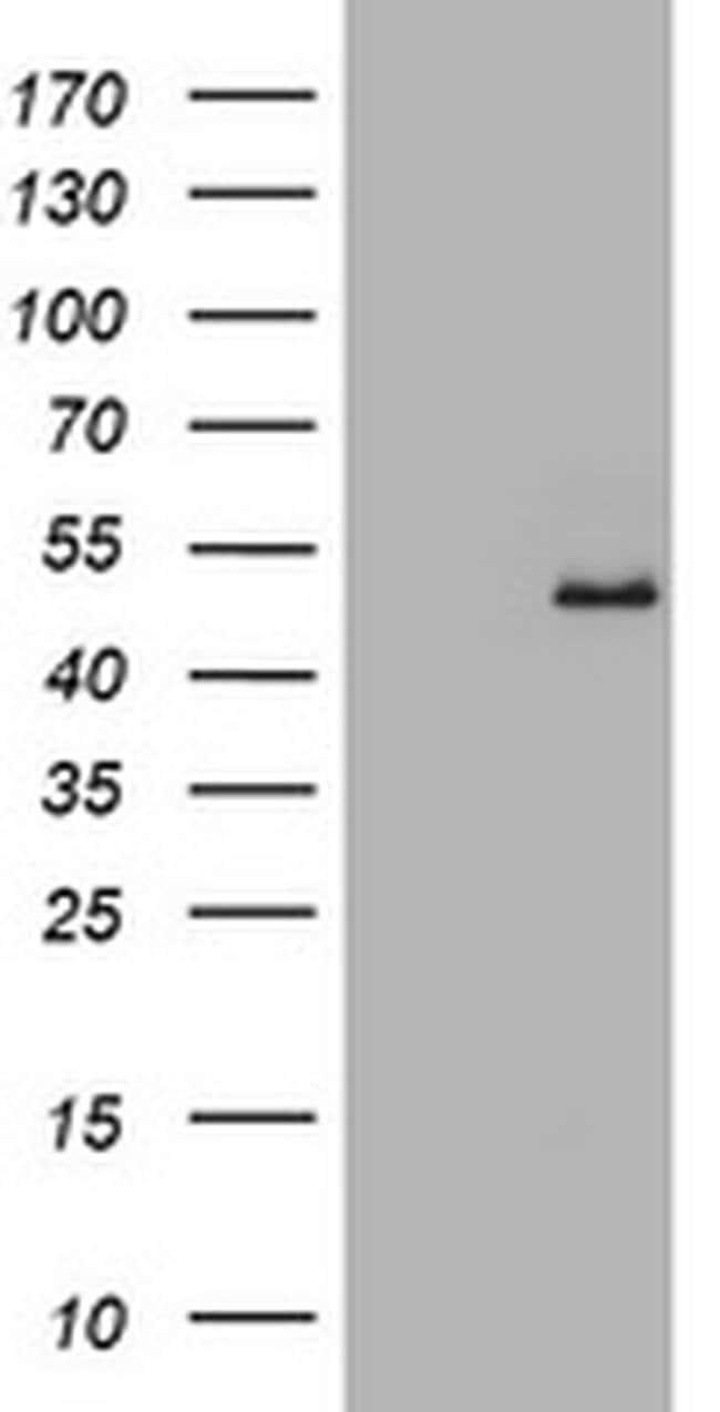 GAPDHS Mouse anti-Human, Clone: OTI1F6, liquid, TrueMAB  100 µL; Unconjugated