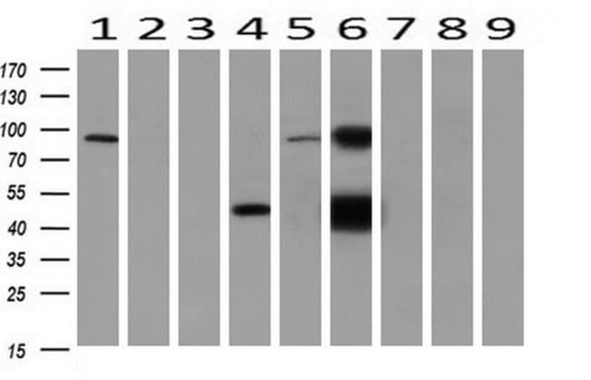 GATM Mouse anti-Human, Clone: OTI1C9, liquid, TrueMAB  30 µL; Unconjugated