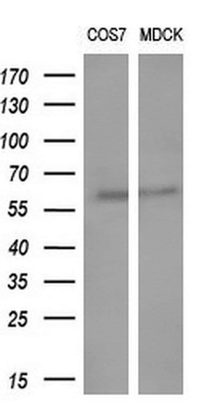 GBA3 Mouse anti-Human, Clone: OTI5G5, liquid, TrueMAB  100 µL; Unconjugated