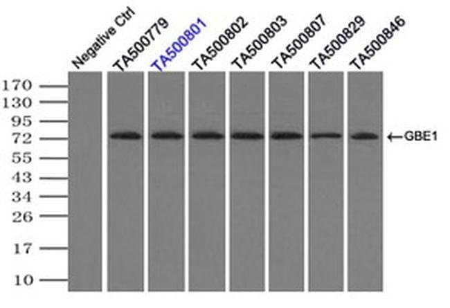 GBE1 Mouse anti-Human, Clone: OTI3B4, liquid, TrueMAB  100 µL; Unconjugated