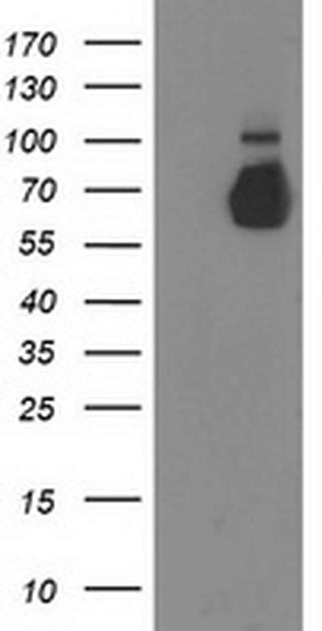 GBP5 Mouse anti-Human, Clone: OTI3G1, liquid, TrueMAB  100 µL; Unconjugated