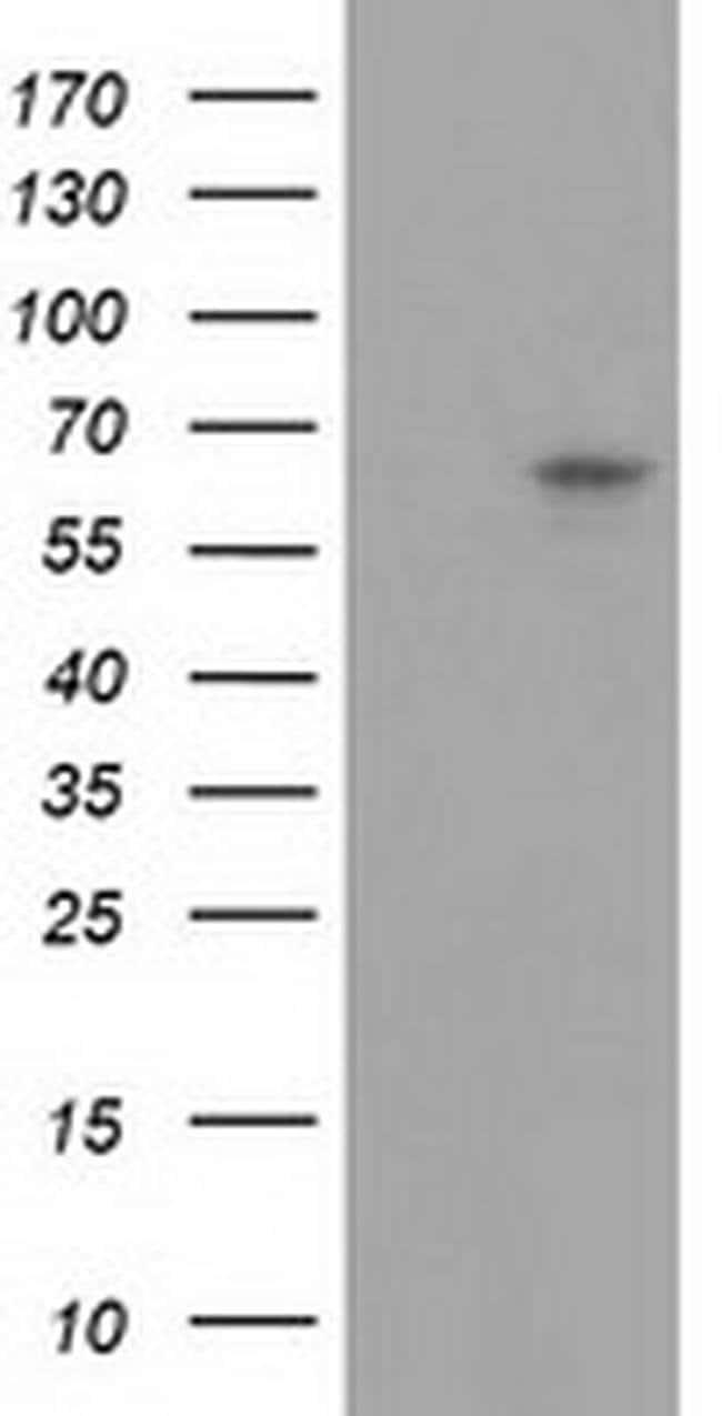 GBP5 Mouse anti-Human, Clone: OTI8D8, liquid, TrueMAB  100 µL; Unconjugated