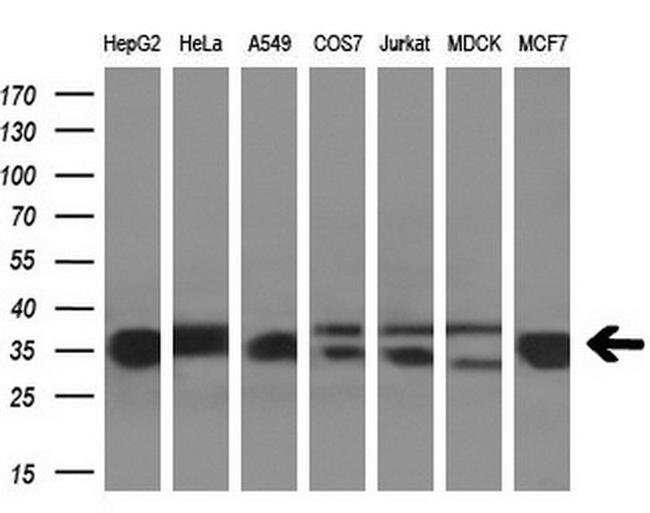 GNMT Mouse anti-Human, Clone: OTI8A3, liquid, TrueMAB  100 µL; Unconjugated