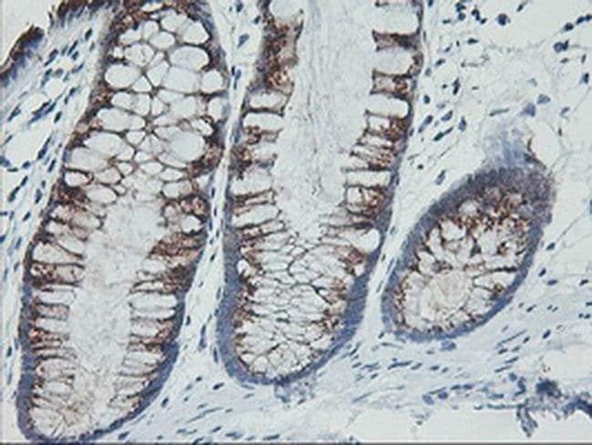 GOLM1 Mouse anti-Human, Clone: OTI4B3, liquid, TrueMAB  100 µL; Unconjugated