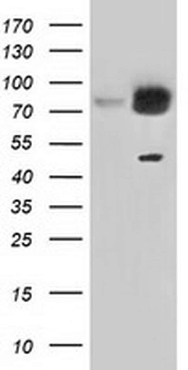 GORASP1 Mouse anti-Canine, Human, Rat, Clone: OTI5G8, liquid, TrueMAB